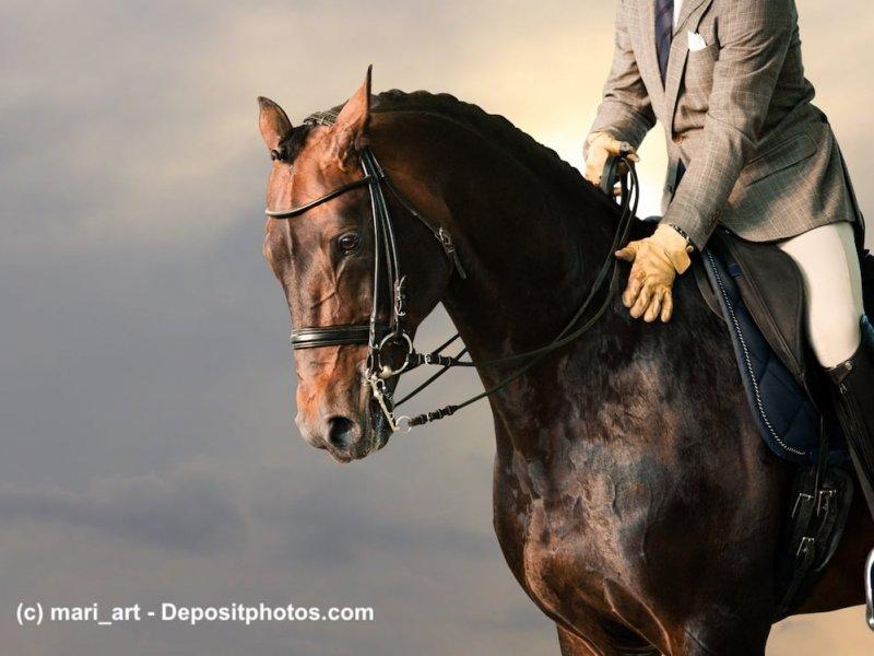 Englisches Vollblut bei der Dressurpferd