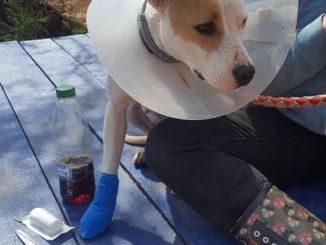 Ein Hund mit einem Trichter und einer blau verbundenen Foto neben einem Menschenbein.