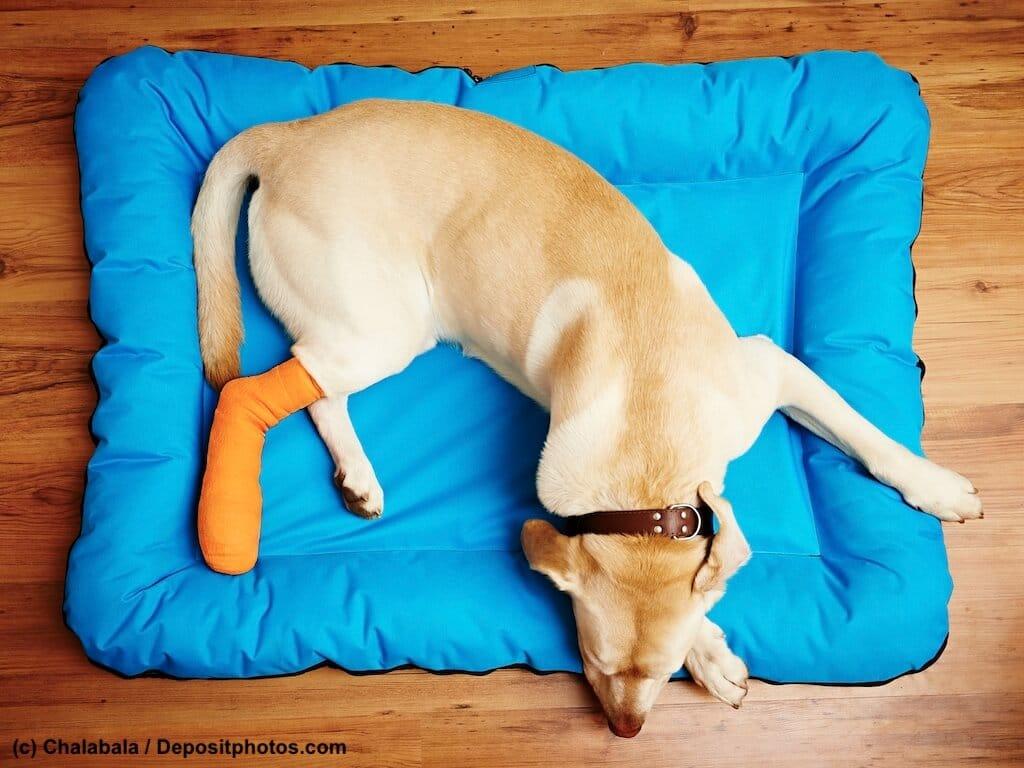 Labrador mit gebrochenem, bandagiertem Hinterbein