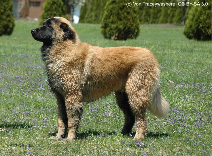 Cão da Serra de Estrela, Estrela Berghund, 6 Monate alter Rüde