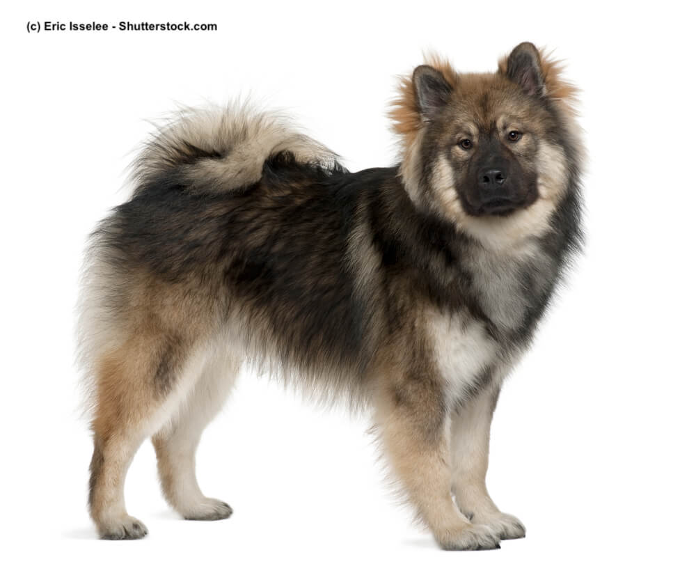 Eurasier Steckbrief