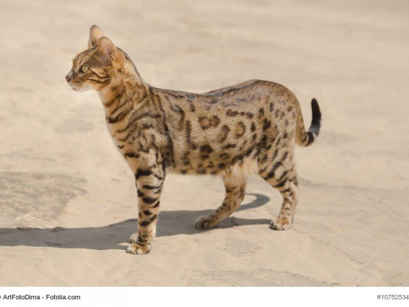 Ganzkörperbild einer  frei laufenden F5+ Savannah Katze