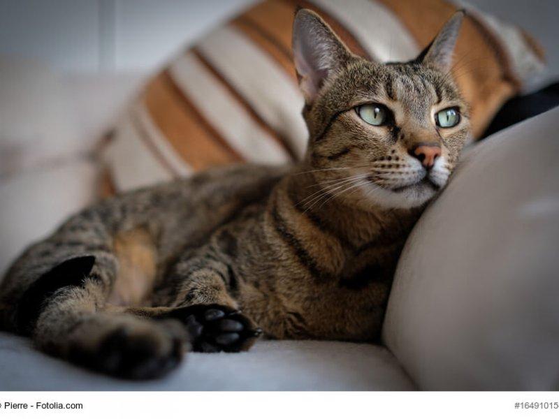 Nahaufnahme einer F5+ Savannah Katze, gemütlich auf dem Sofa