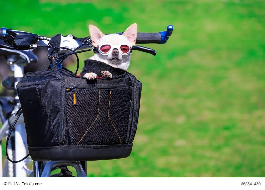 Ein kleiner weißer Hund mit einer Sonnenbrille in einem schwarzen Fahrradkorb