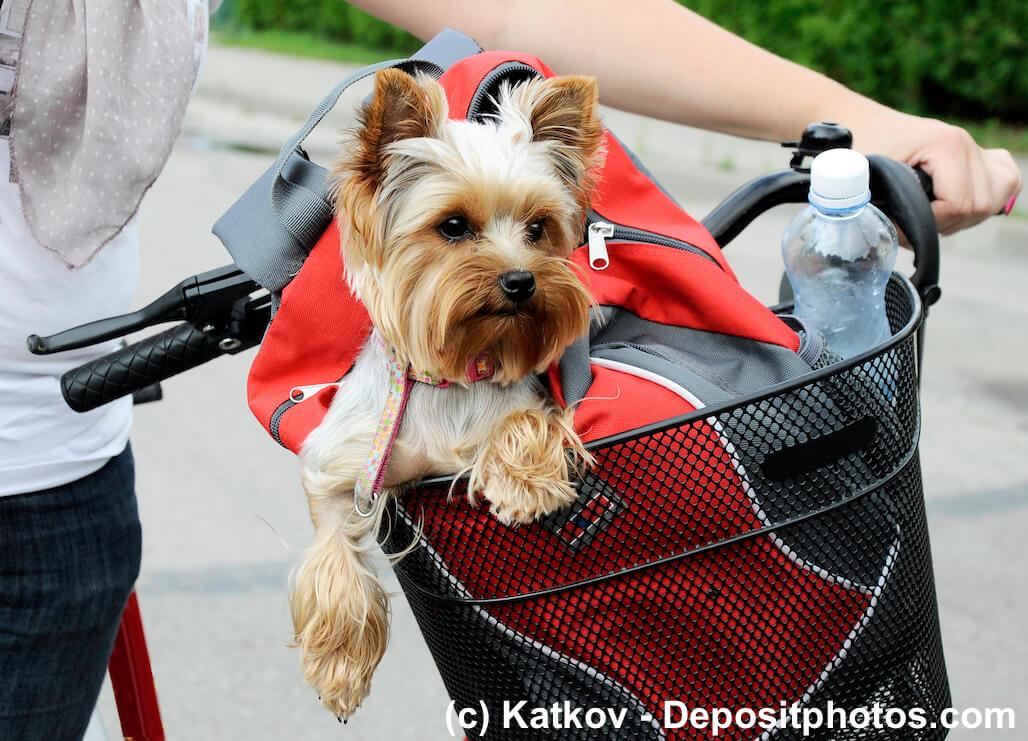 Ein Yorkshire Terrier sitzt in einer Tasche in einem Fahrradkorb vorne am Lenker eines Fahrrads, das von einem Menschen geschoben wird