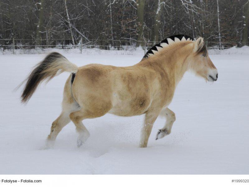 Fjordpferd im Schnee