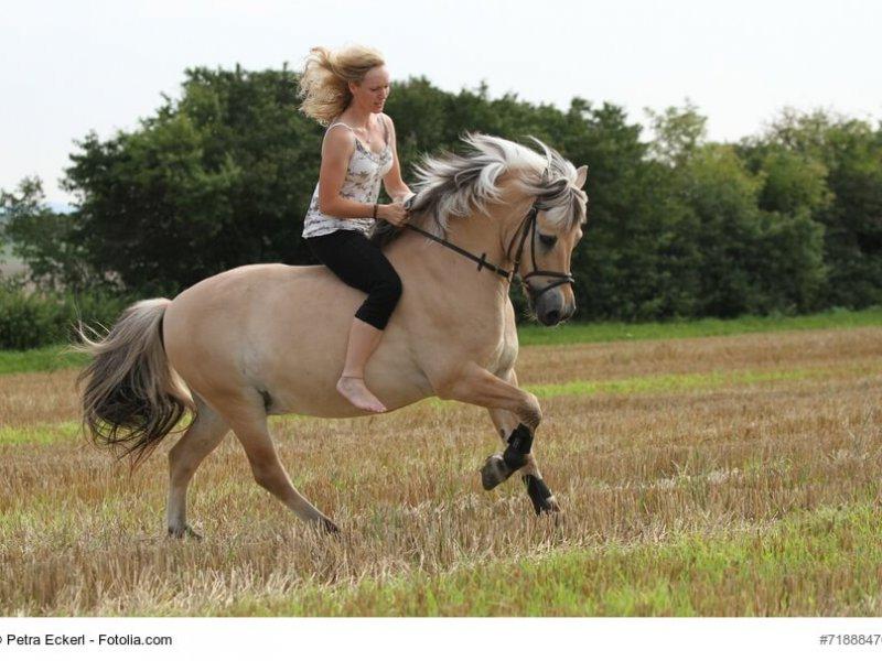 Fjordpferd mit Reiterin