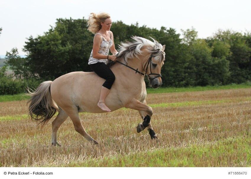 Fjordpferd mit Reiterin im Galopp