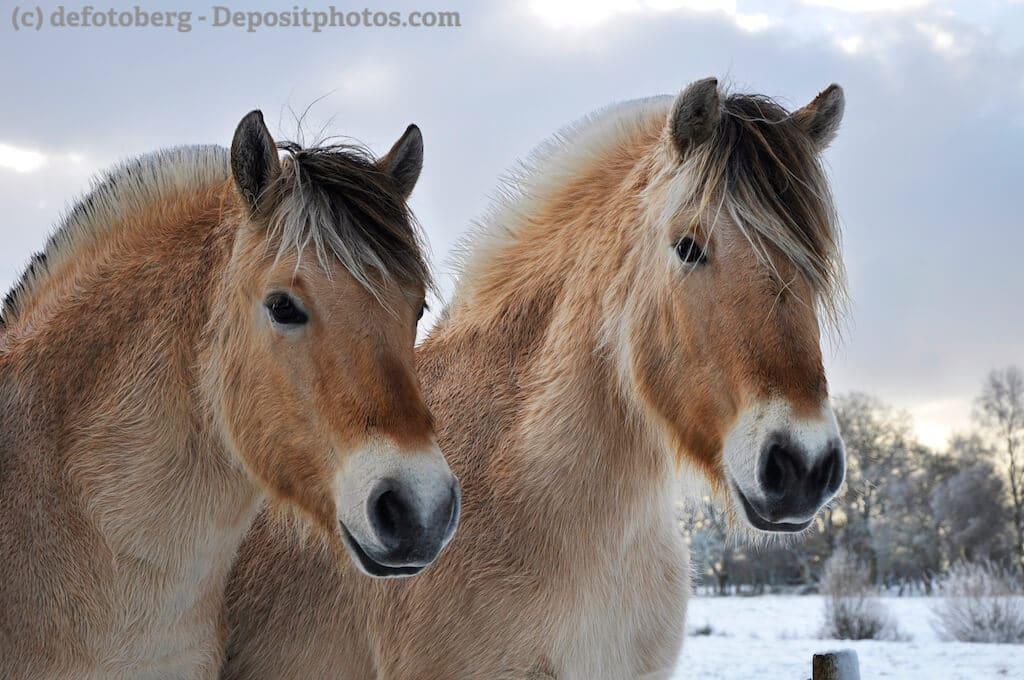 Portrait zweier Fjordpferde