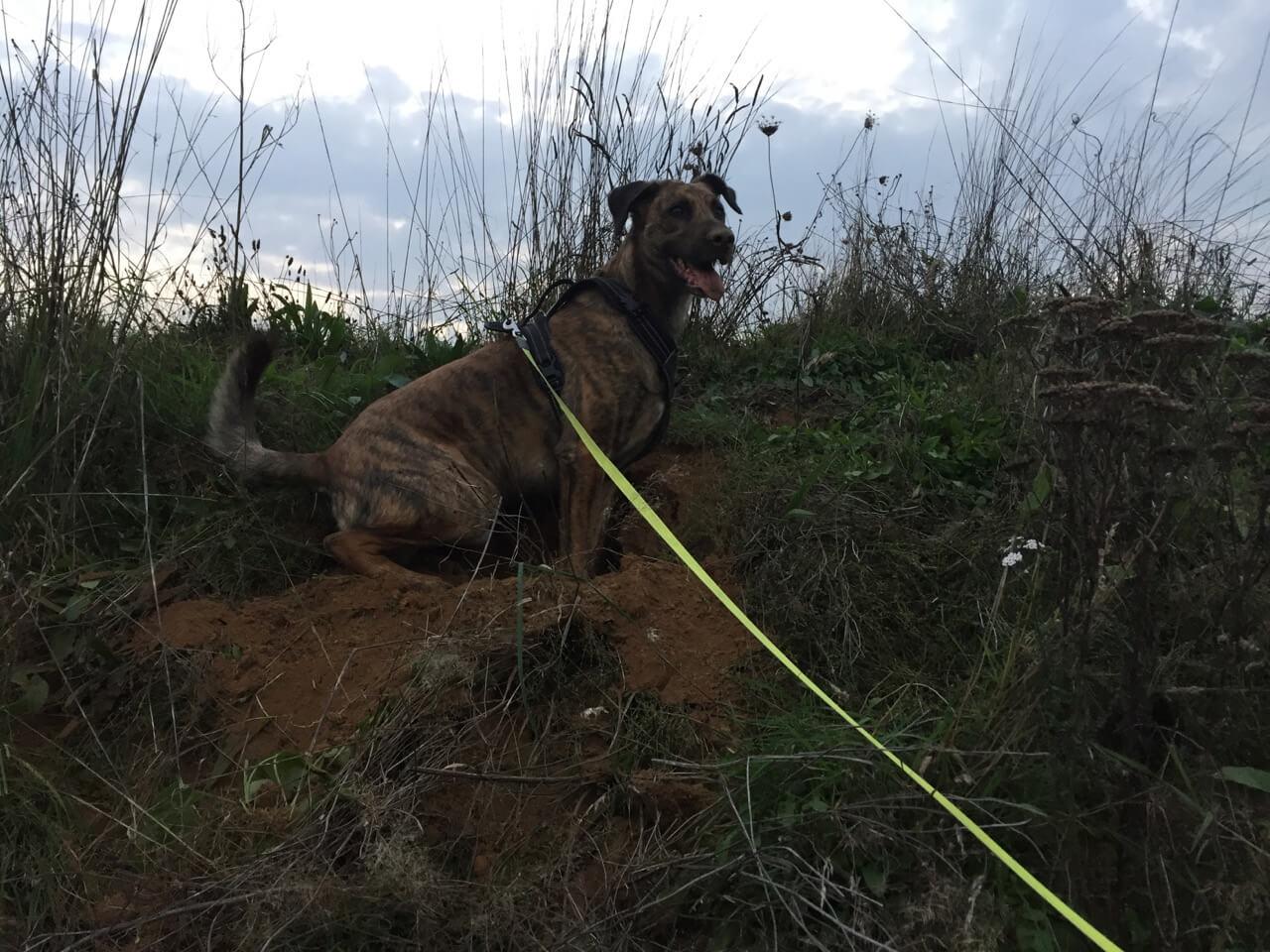 Ein Hund auf einem Hügel an einer neongelben Flexileine Giant Professional