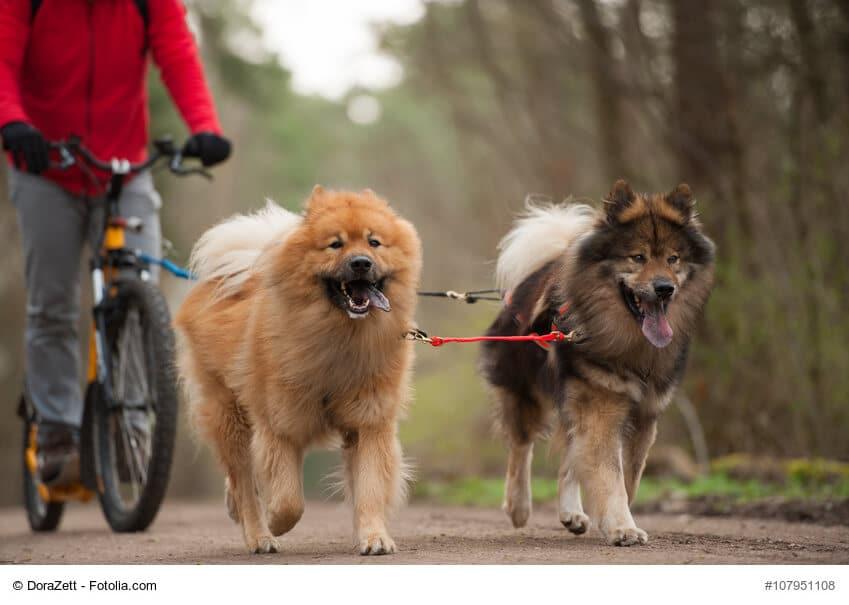 Zwei Hunde ziehen eine Person