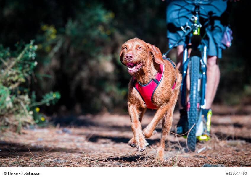 Hund im Lauf beim Zughundesport