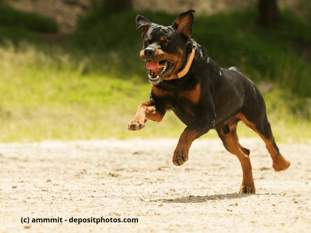 Frei laufender Rottweiler