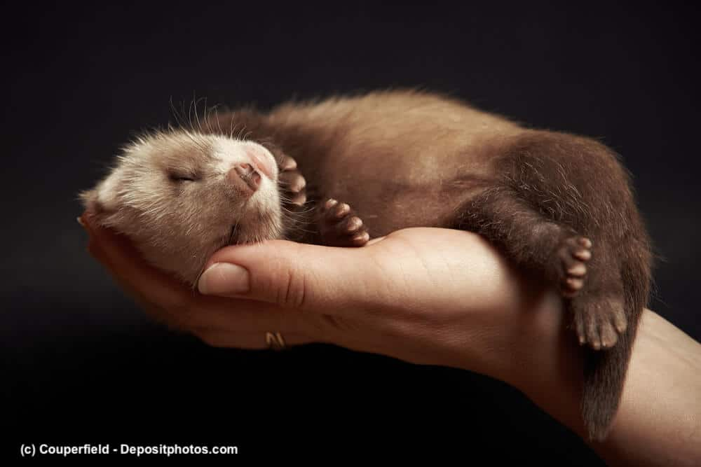 Junges Frettchen schläft auf einer Hand.