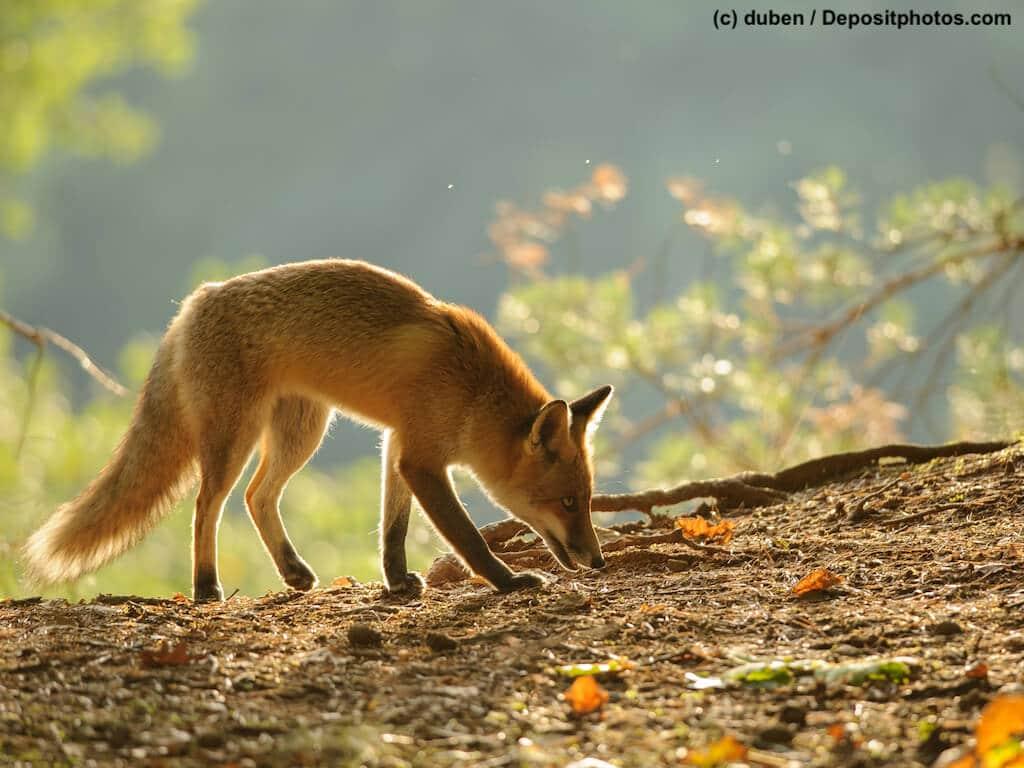 Füchse und Tollwut in Deutschland