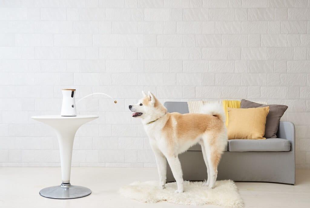 Ein Hund steht vor einer Couch und schaut zu einer Hundekamera Furbo