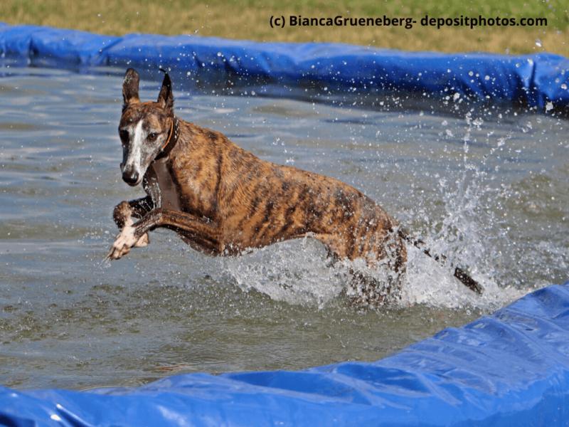 Galgo Español gestromt springt in Pool