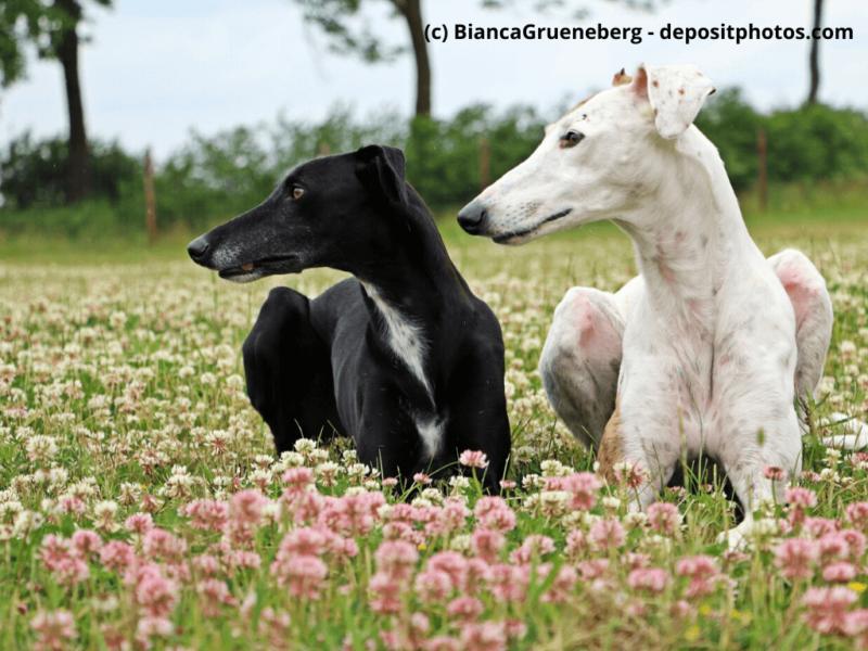 Galgo Español in schwarz und weiß liegen im Blumenfeld