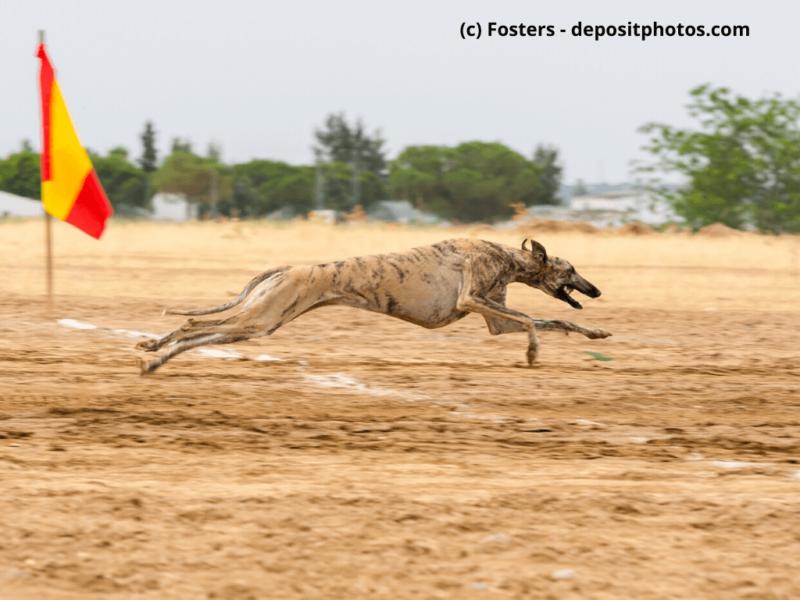Galgo Español läuft schnell während eines Rennens