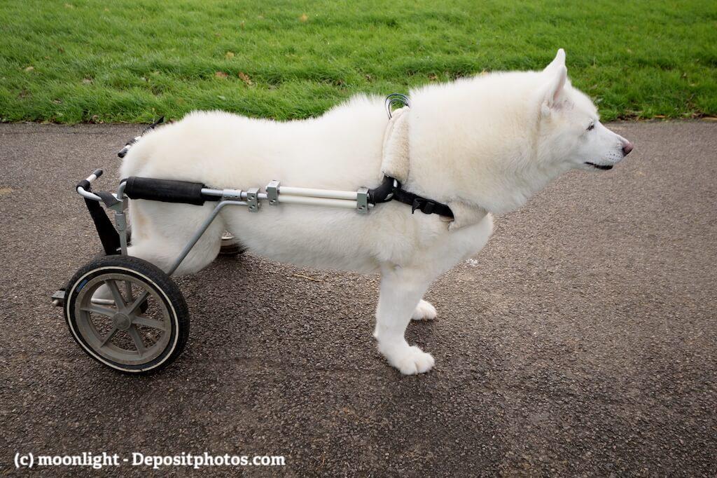Ein weißer Hund mit einem Rollwagen als Gehhilfe