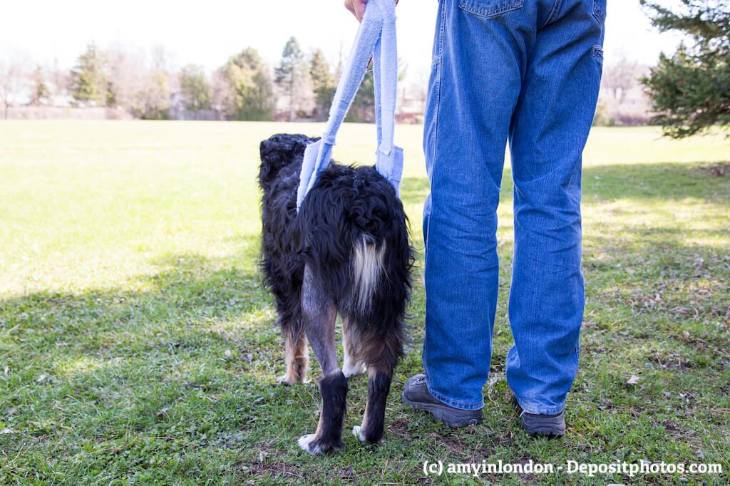 Ein Mann steht rechts neben seinem Hund in einem Park und hilft ihm beim Laufen mit einem Tragegurt
