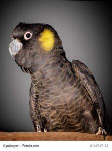 Gelbohr-Rabenkakadu, gut zu erkennen ist der gelbe Fleck im Bereich der Ohren