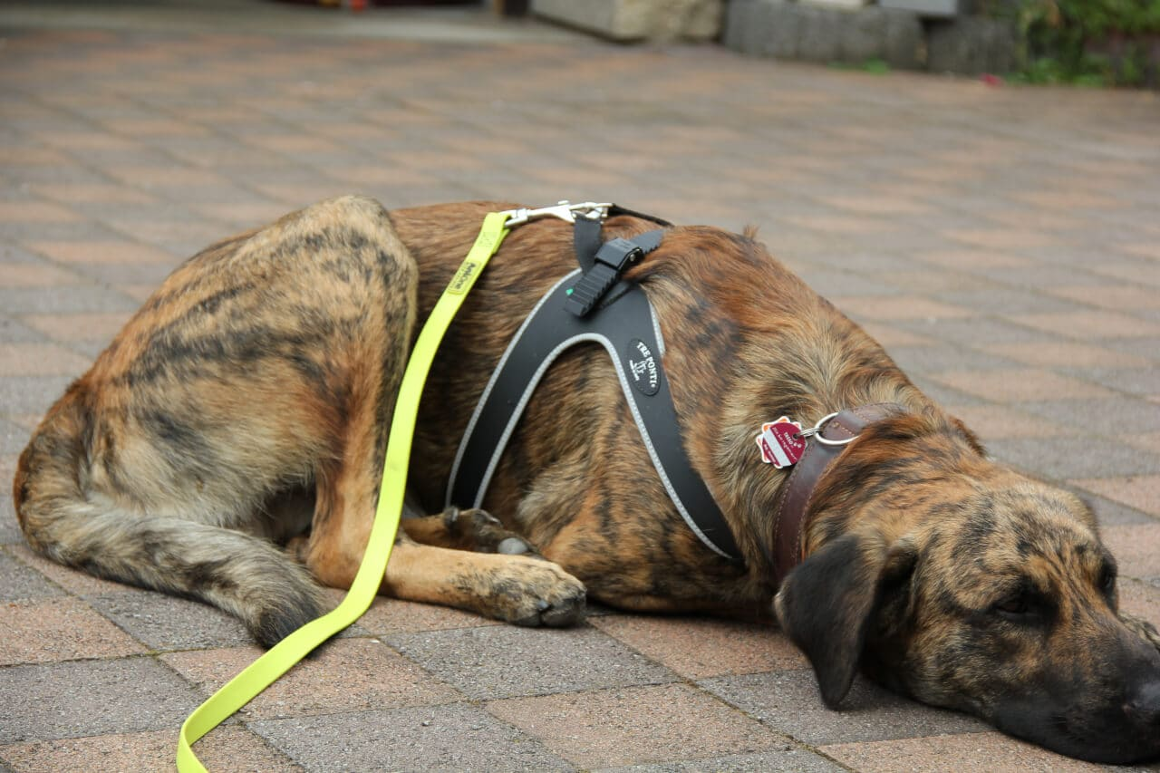 Ein Hund liegt auf einem Hof, trägt ein Tre Ponti Hundegeschirr und eine gelbe Schleppleine