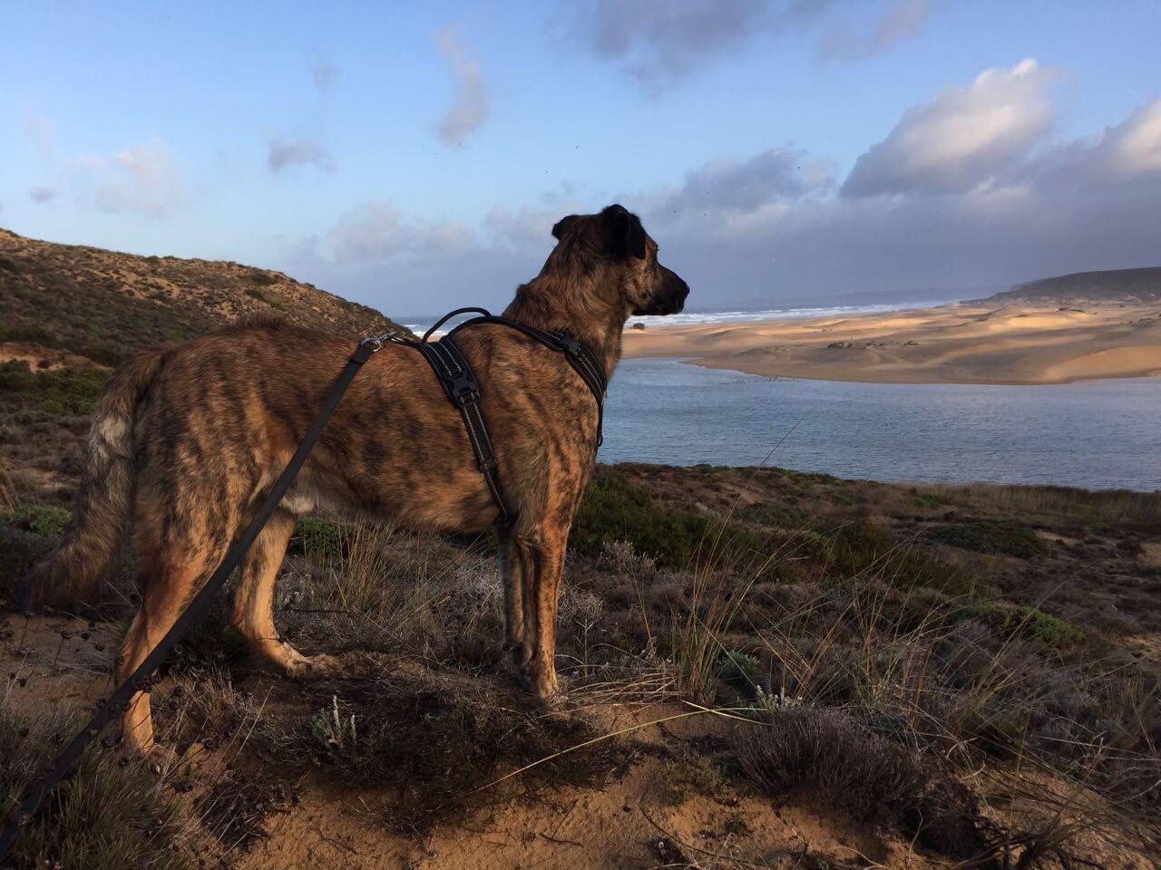 Herdenschutzhund mit Geschirr an der Küste