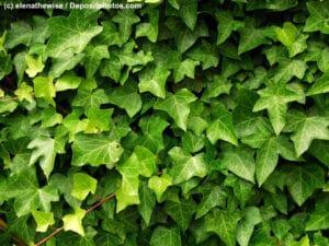 Efeu Nahaufnahme der Blätter an einer nicht mehr sichtbaren Wand