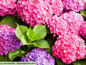 Hortensie / Hydrangea rosa und lila Blüten und dazwischen grüne Blätter