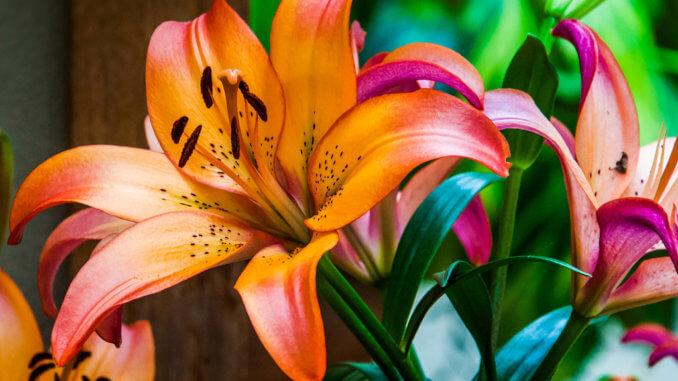 Lilien sind prachtvolle Blumen und als Zimmer- und Gartenpflanzen beliebt.