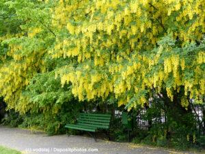 Blühender Goldregen / Laburnum / Bohnenbaum / Goldstrauch in einem Park darunter eine grüne Bank