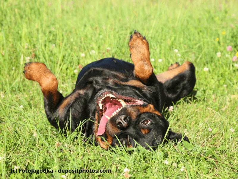 Glücklich Rottweiler ruht auf grünem Gras