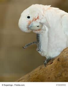 Bild eines Goffinkakadus, sitzend auf einem Baum. Gut zu erkennen ist der helle Schnabel und die orange roten Federn um den Schnabel herum, ansonsten weiß/ rosa Gefieder