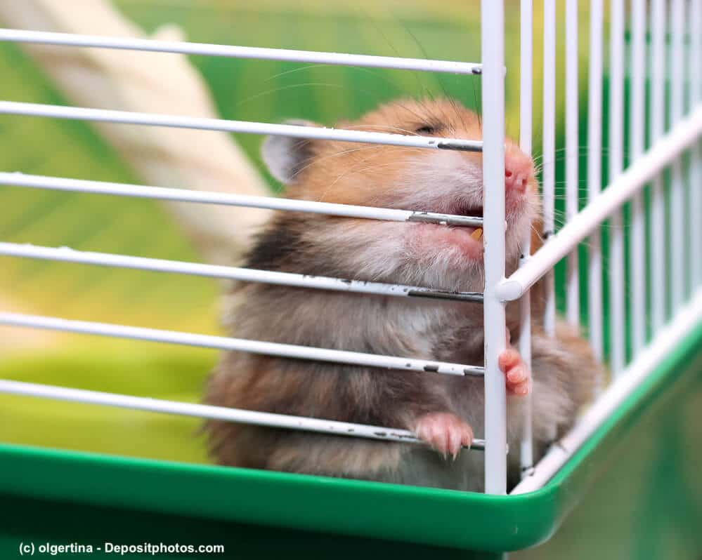 Goldhamster nagt an den Stangen seines Käfigs