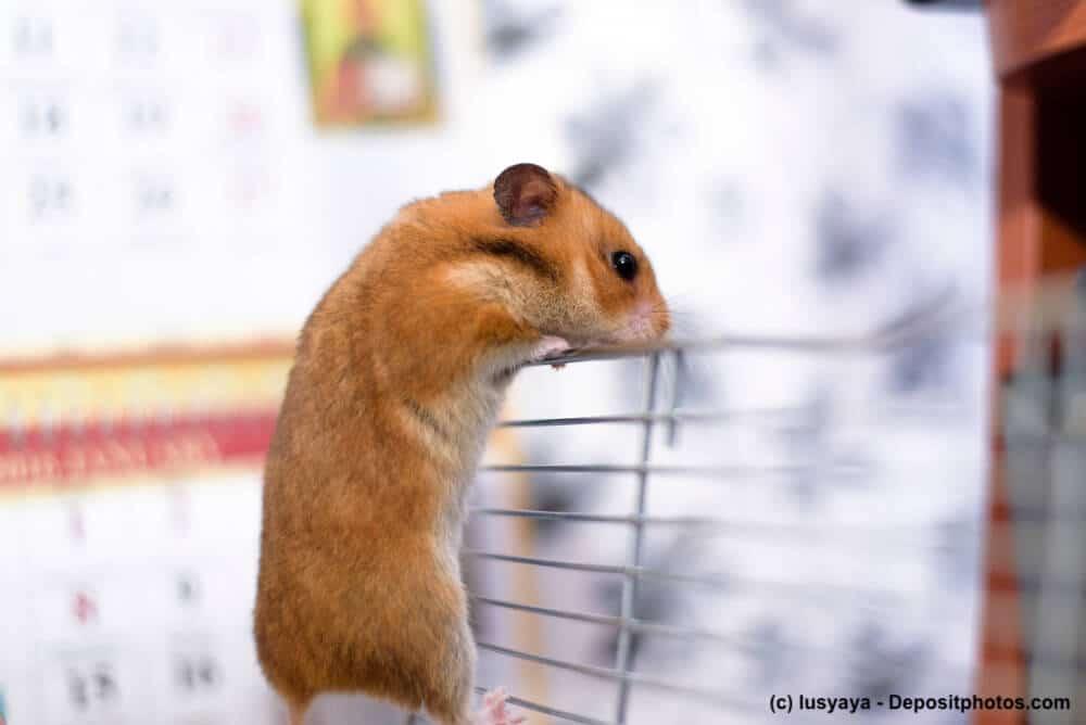 Ein Goldhamster versucht aus seinem Käfig zu klettern