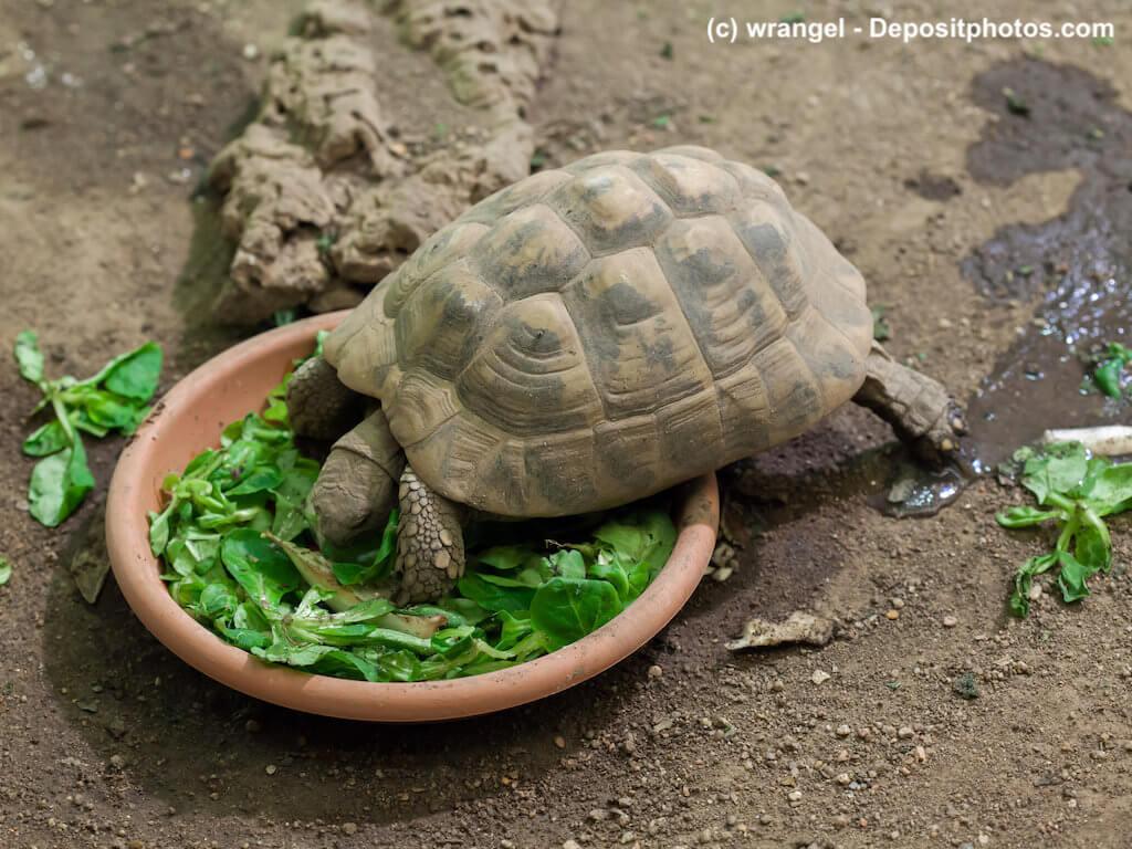 Testudo hermanni - Griechische Landschildkröte mit Futterschale