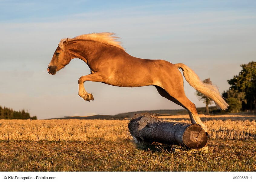 Die größten Ponys- Haflinger in Aktion