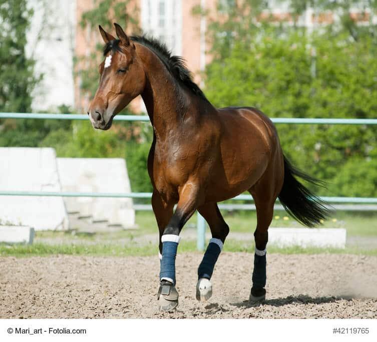 Braunes Pferd im Auslauf mit grünen Bandagen