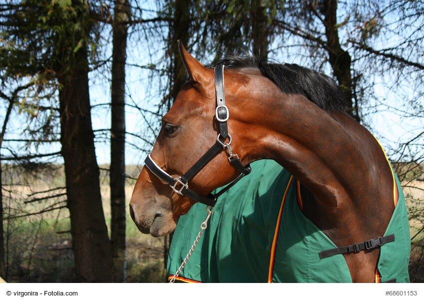 Braunes Pferd mit Trense und Decke vor Nadelbäumen