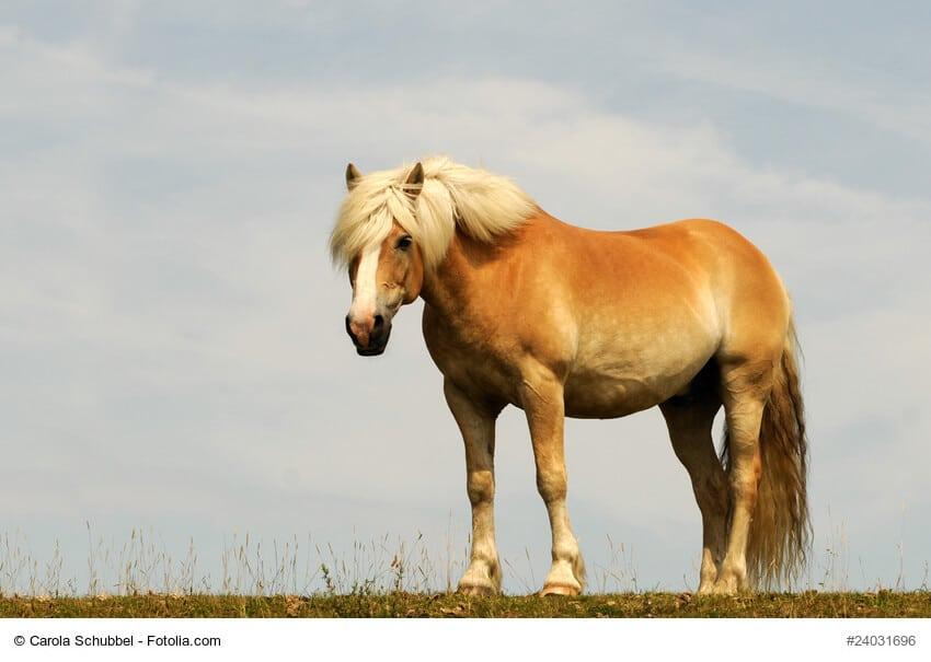 Haflinger sind tolle Pferde für lange Ausritte im Gelände. Ihre Pferdefarbe wird als Lichtfuchs bezeichnet.