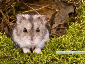 Hamsterarten, kleiner grau weißer Hamster auf Moos