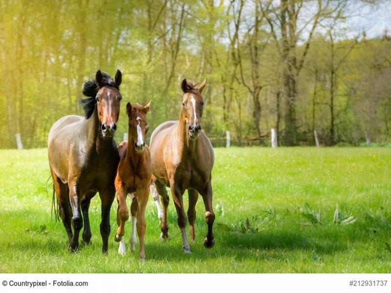 Pferde toben ausgelassen auf einer Pferdekoppel