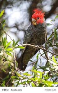 Helmkakadu sitzend auf einem Baum. Gut zu erkennen, der strahlend rote Kopf und das grau/ schwarze Gefieder am restlichen Körper