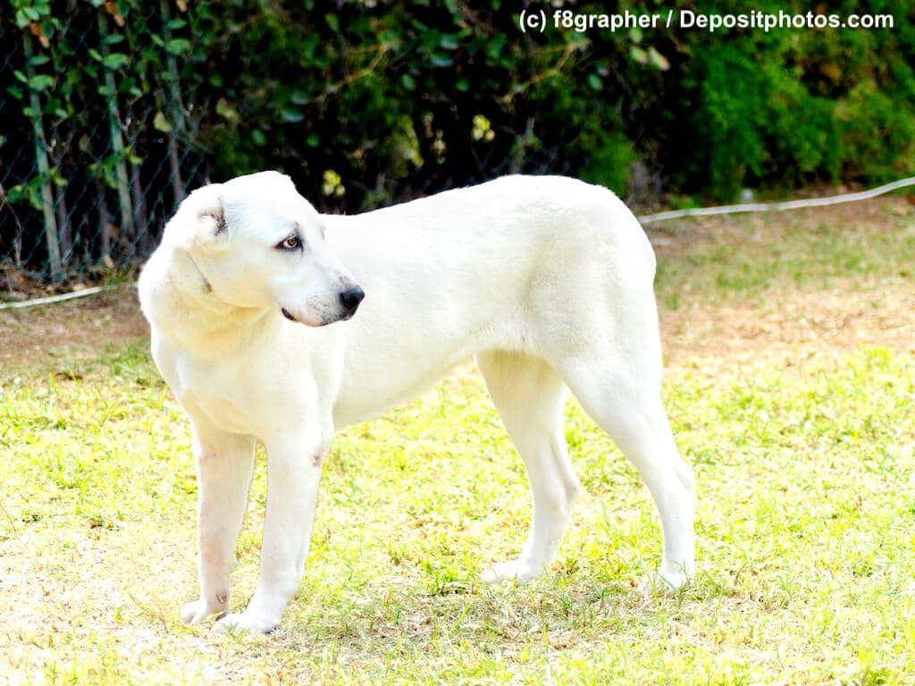 Seitenansicht eines weißen Herdenschutzhund steht in Garten Zentralasiatischer Owtscharka
