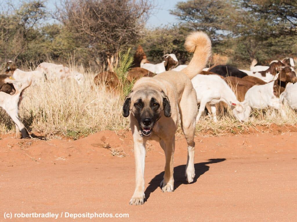 Ein Kangal frontal bewacht Schafherde in dürrer Landschaft