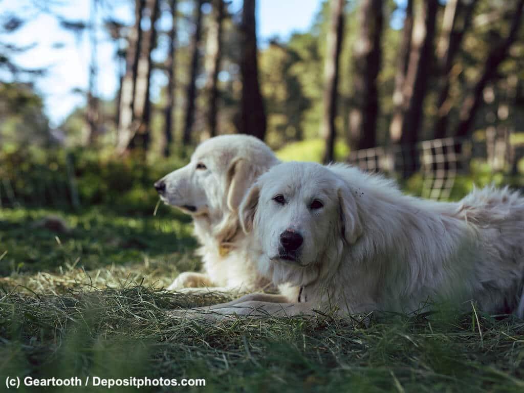 Zwei Pyrenäenberghunde liegen im Schatten im Gras.