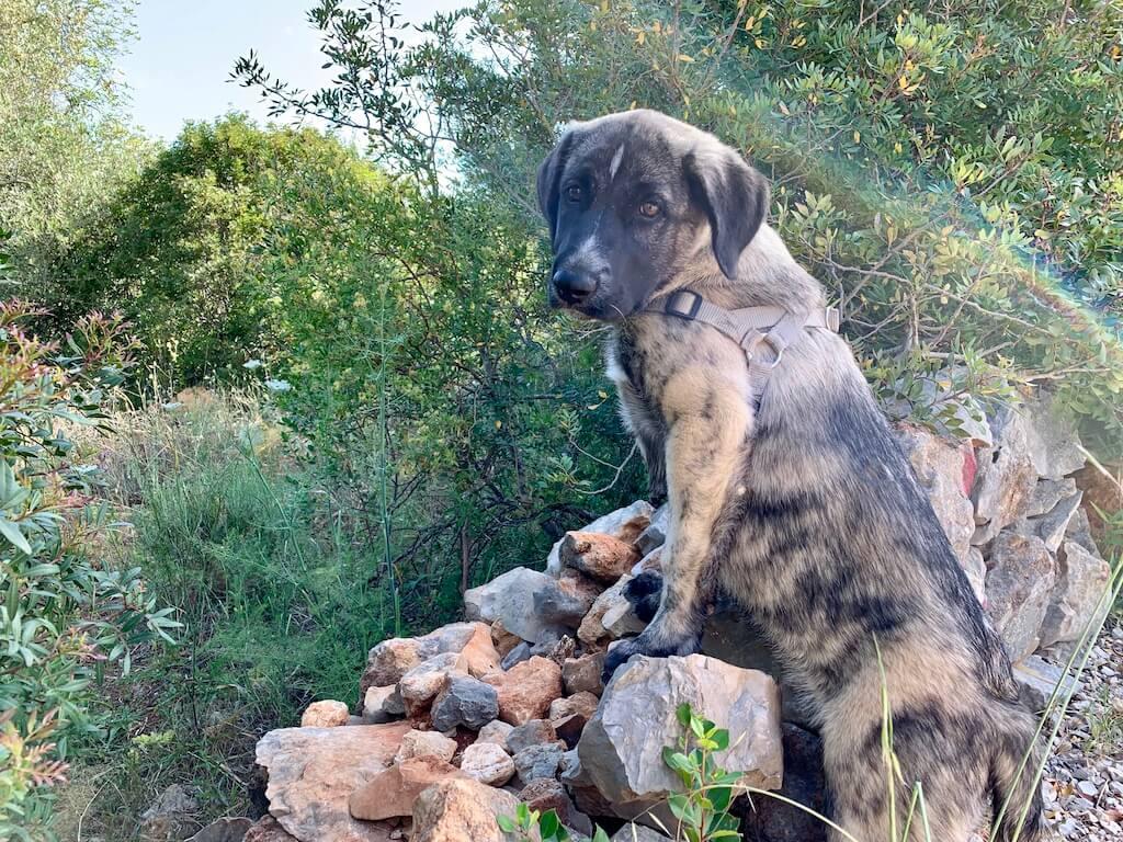 Herdenschutzhund Rafeiro do Alentejo-Welpe steht mit den Vorderpfoten auf einer Mauer und hält Ausschau
