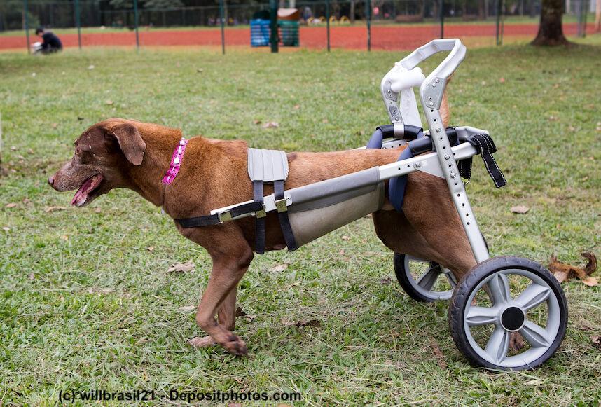 Ein Hund mit seinem auf ihn angepassten Rollwagen im Park