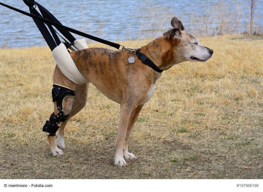 Ein älterer Boxer mit Orthese am rechten Hinterbein und Tragehilfe zur Unterstützung nach einer Knie-OP.